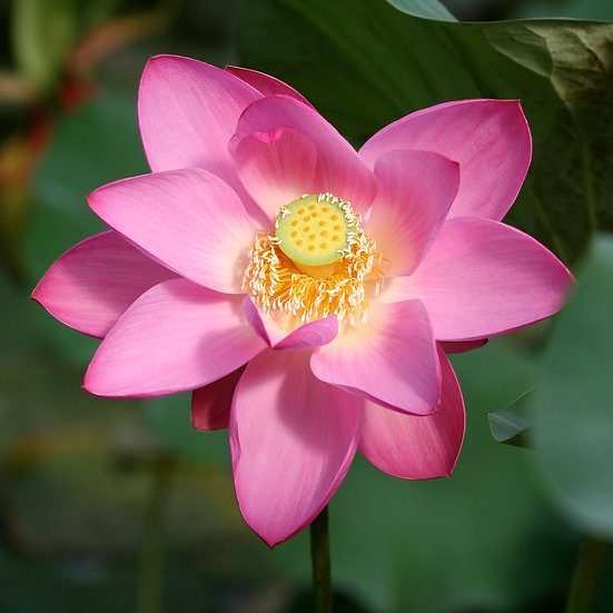 "5"" Square Card - Lotus Flower."
