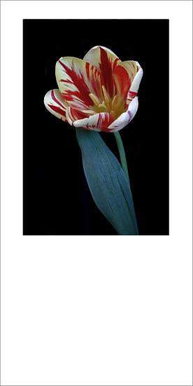"""8 x 4"""" Card - Rembrandt Tulip with dark background."""