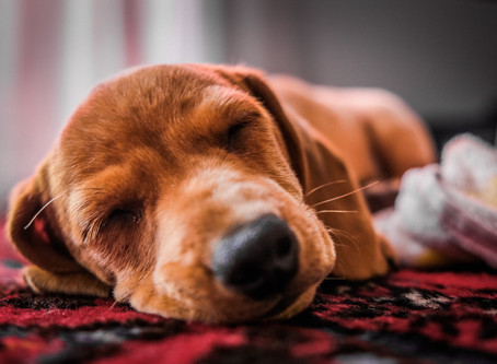 Is lockdown restful for your dog?