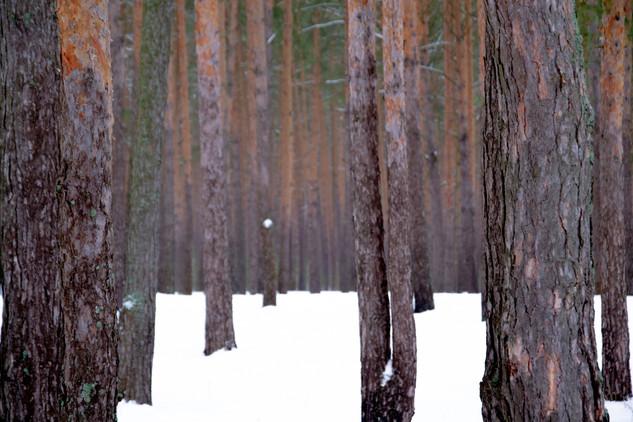 Хвойный лес фото