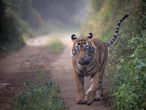 Connecting the Stripes: Tiger Range Nations (Part 1: The Cold War & Indira Gandhi)