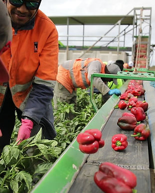 Seasonal Workers Capsicum.jpg