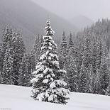 snowyPine.jpg