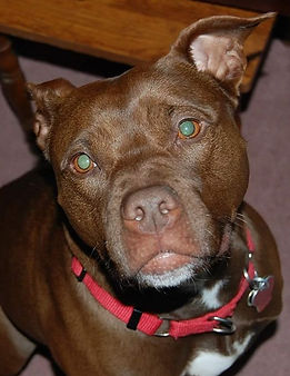 Pet Dog Training Pit Bull