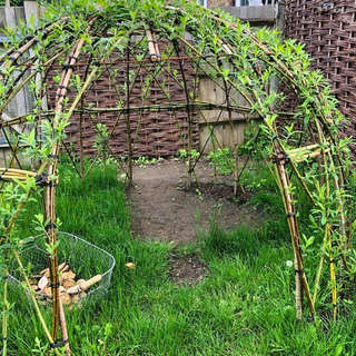 Our Beautiful Growing Willow Dome JW.jpe
