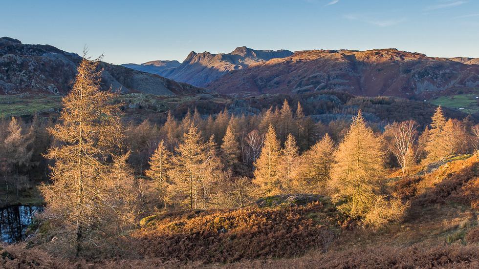 Larch Trees, Holme Fell