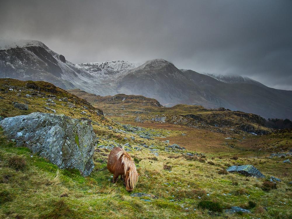 Wild ponies in Cwm Idwal