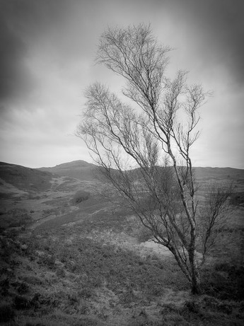 Torver Tree Portrait