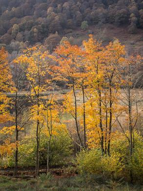 Portrait of Autumn Trees 1