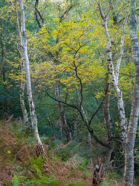 Silver Birch, Helsby