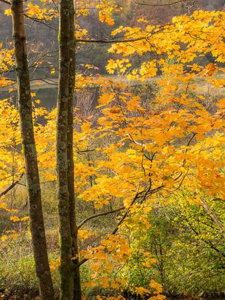Autumn Foliage Study