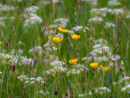 Swaledale Flower Meadows