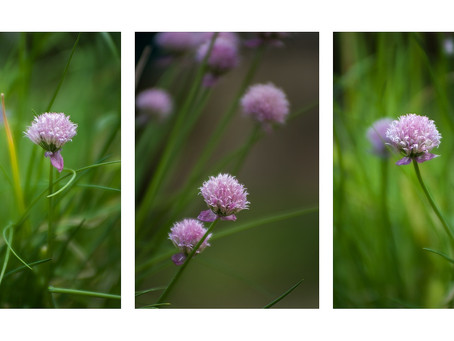 A Trio of Chives