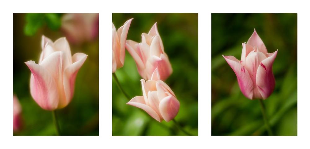 Tulip Triptych