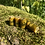 Thumbnail: Dreadbead Mustard