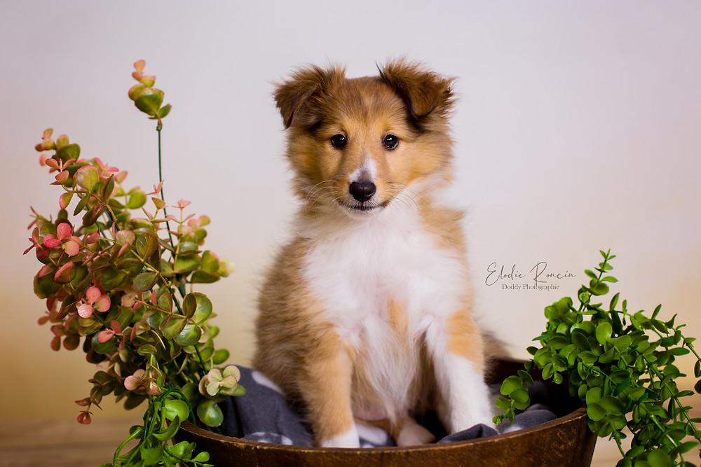 photo pro chien chiot berger shetland dreux eure et loir