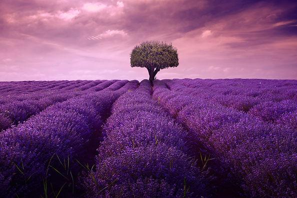 lavender-4222480_1920.jpg