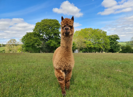 Caring for Alpacas: Are you prepared for the autumn season?