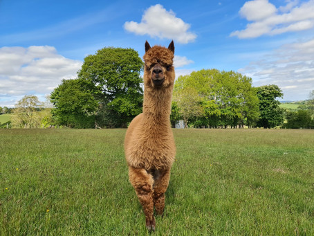 Caring for Alpacas: Autumn Husbandry Checklist