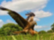 Glamping Wales Red Kite feeding