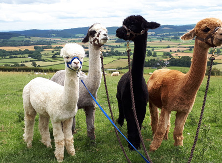 Alpaca 101: What are alpacas and why do people keep them?