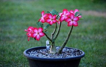 Festival de Orquídeas e Rosas do Deserto beneficente tem curso de cultivo e espécies à venda