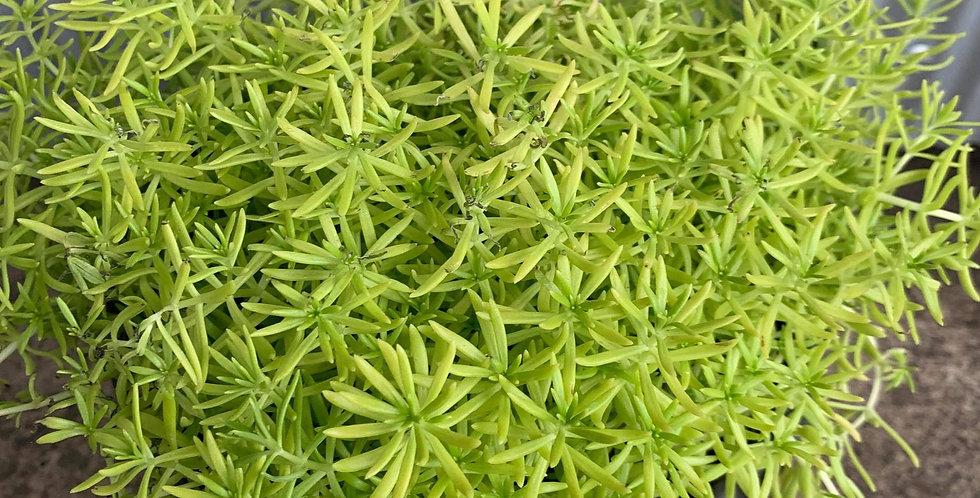 Sedum Golden Moss