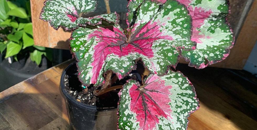 Begonia Rex St. Nick