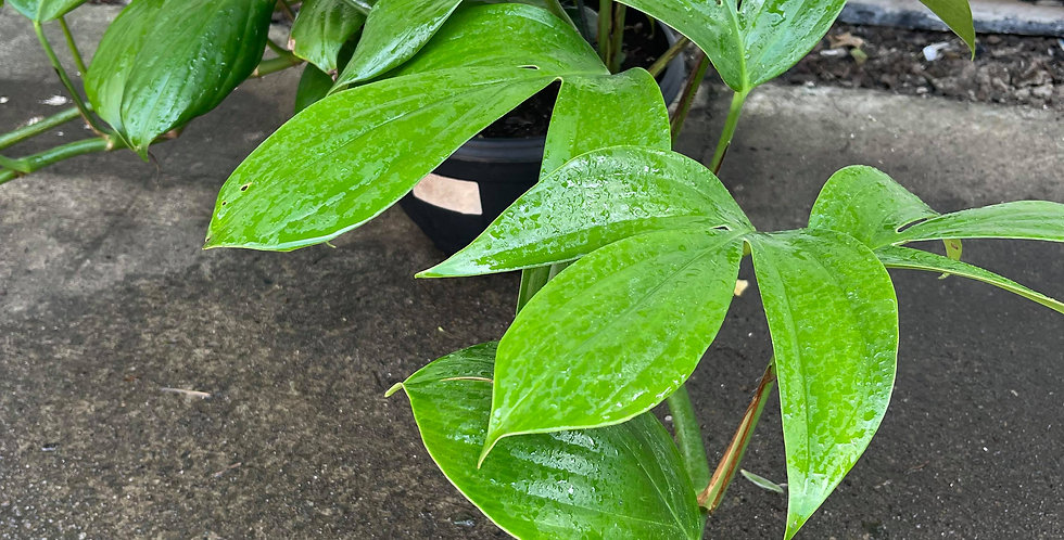 "Epipremnum pinnatum ""Dragon's Tail"""