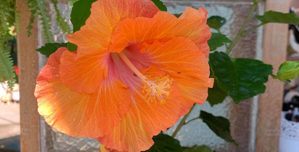 Hibiscus Fantasy Sunset Ruffle