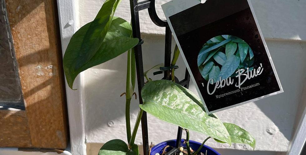 Epipremnum Pinnatum Pothos Cebu Blue