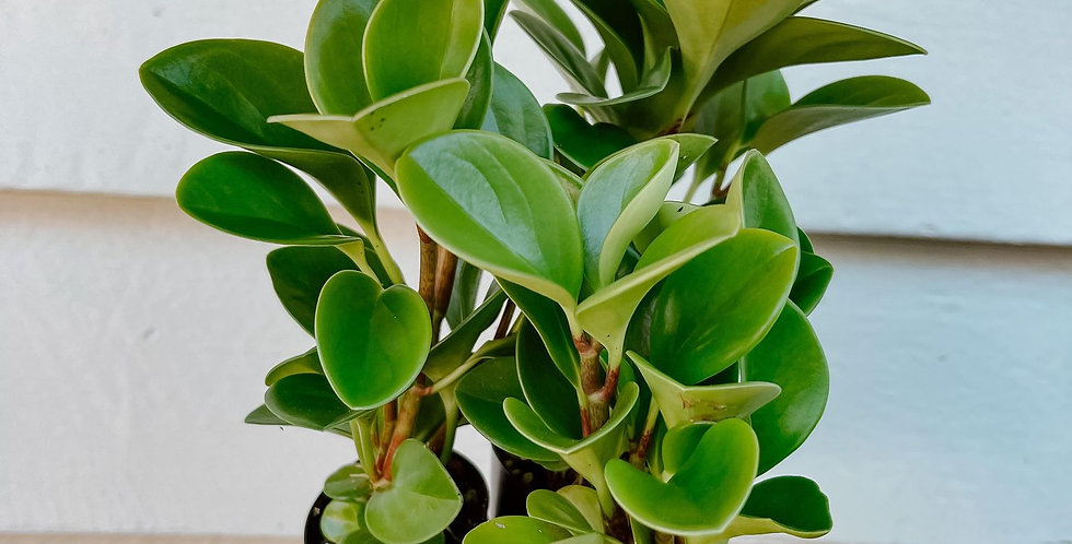 Peperomia Obtusifolia Jade Packs