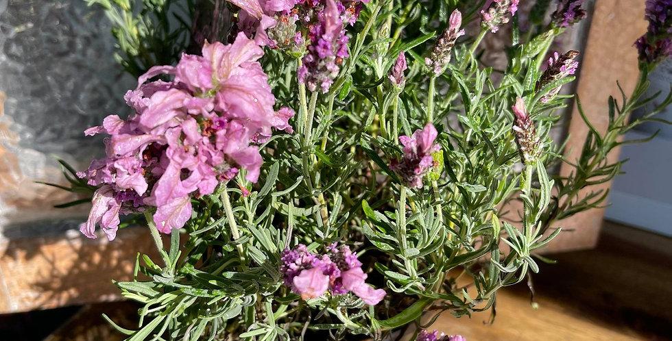Lavender x Pedunculata