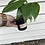 "Thumbnail: Epipremnum pinnatum ""Dragon's Tail"""