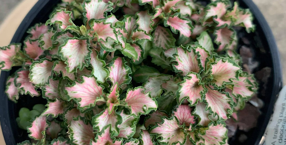 Fittonia Pink