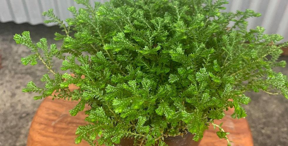 Selaginella Moss Green