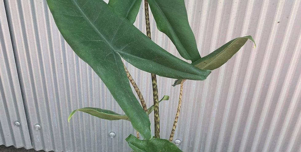 Alocasia Tigrina