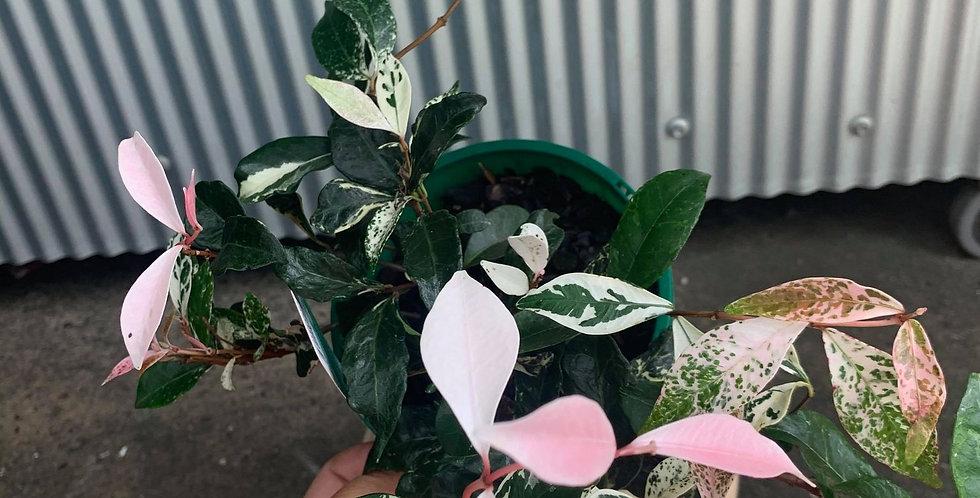 Trachelospermum Tricolour