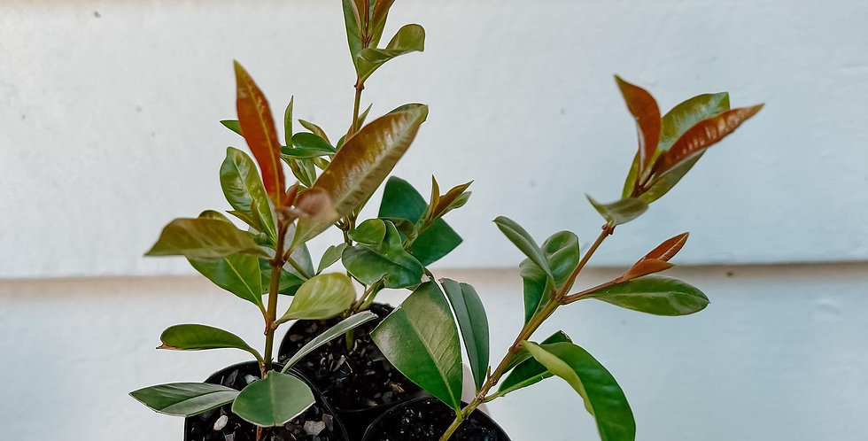 Syzygium Captain Cook Packs