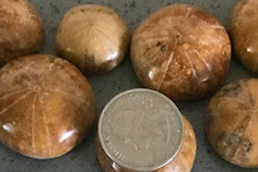 Mini Polished Sand Dollar