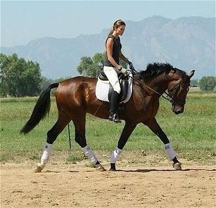 Pacific Star Equestrian Dutch Warmblood for Sale