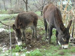Burra y burro