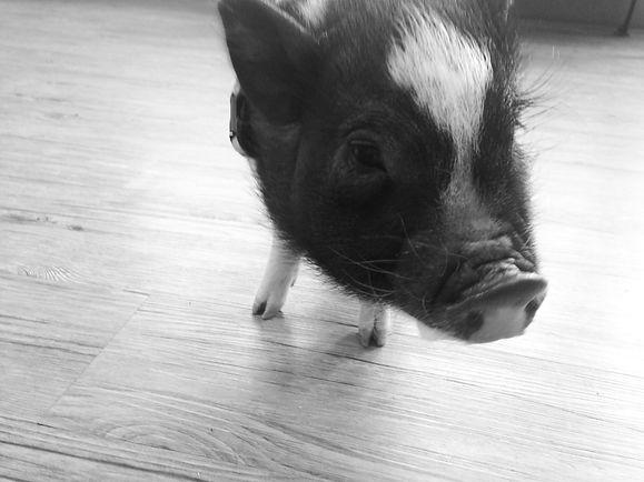 Pig and Exotic Veterinarian Huntsville