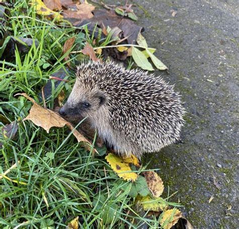 dorset hedgehog.jpg