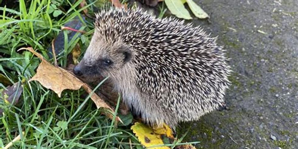 Hedgehogs in Shaftesbury