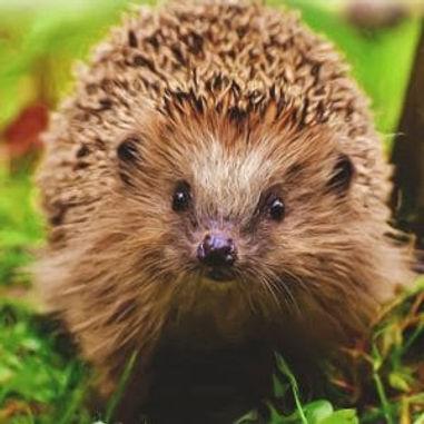 hedgehog2-300x300.jpeg