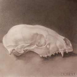 Raccoon Skull with Broken Zygomatic Arch