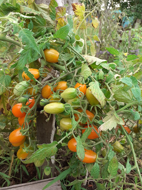 Грушевый апельсин