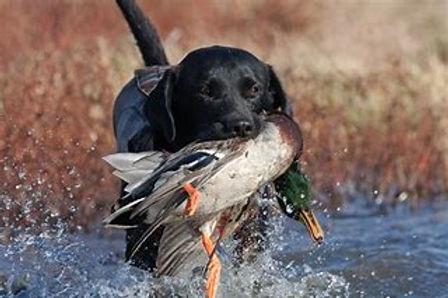 dog hunting 2.jpg