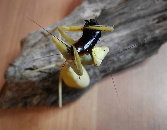 Stagmatoptera femoralis 4.jpg
